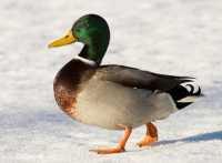 Ente - Tiere auf dem Bauernhof  zur Aktivierung von Senioren mit Demenz