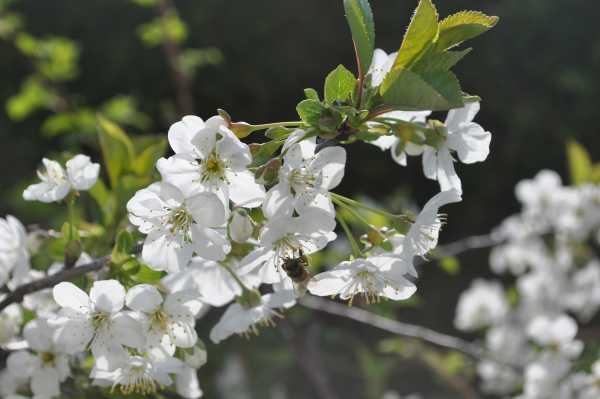 Blühender Ast - Apfel oder Birne oder vielleicht Kirsche???
