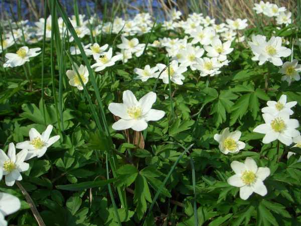Buschwindröschen bzw. Anemonen als Frühlingsblume zur  Aktivierung und Beschäftigung für Senioren - auch mit Demenz oder Alzheimer