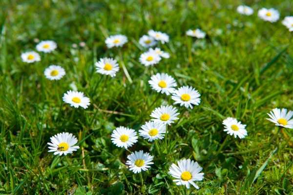 Wiesen mit Gänseblümchen als Frühlingsblume zur  Aktivierung und Beschäftigung für Senioren - auch mit Demenz oder Alzheimer