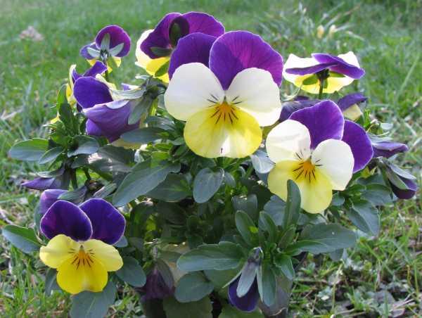 Hornveilchen als Frühlingsblume zur  Aktivierung und Beschäftigung für Senioren - auch mit Demenz oder Alzheimer
