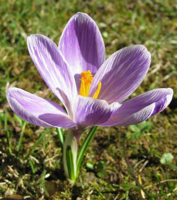 Krokus - Krokusse als Frühlingsblume zur  Aktivierung und Beschäftigung für Senioren - auch mit Demenz oder Alzheimer