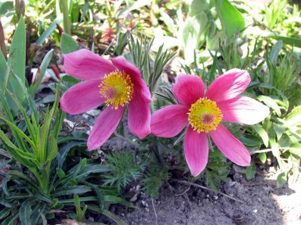 Küchenschelle oder Kuhschelle als Frühlingsblume zur  Aktivierung und Beschäftigung für Senioren - auch mit Demenz oder Alzheimer