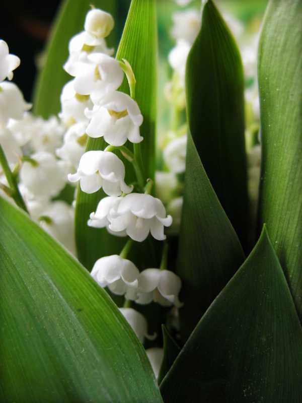 Giftige Maiglöckchen als Frühlingsblume zur  Aktivierung und Beschäftigung für Senioren - auch mit Demenz oder Alzheimer