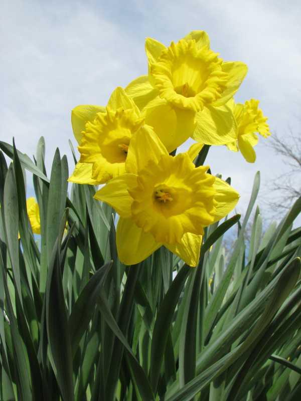 Osterglocken bzw. Narzissen als Frühlingsblume zur  Aktivierung und Beschäftigung für Senioren - auch mit Demenz oder Alzheimer