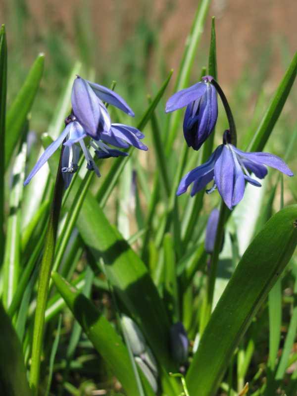 Blaustern, blaues Sternchen als Frühlingsblume zur  Aktivierung und Beschäftigung für Senioren - auch mit Demenz oder Alzheimer