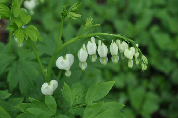 Tränendes Herz als Frühlingsblume zur  Aktivierung und Beschäftigung für Senioren - auch mit Demenz oder Alzheimer