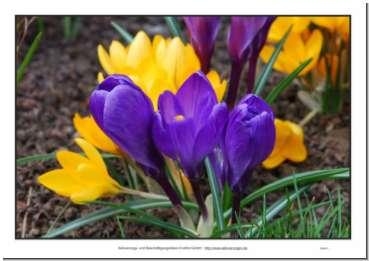 große Bilder von Frühlingsblumen zur Beschäftigung für Senioren